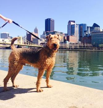 Dog walking, boarding or training from Downtown Pittsburgh Dogs!